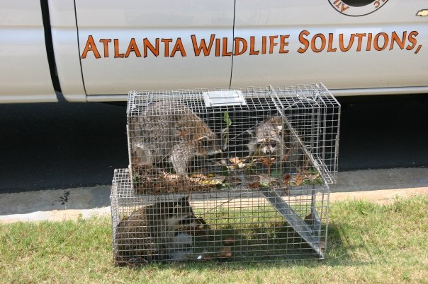 raccoon removal atlanta