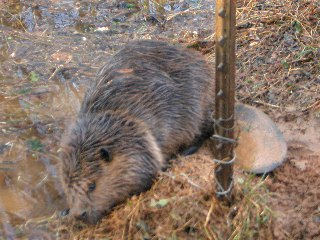 Snared Beaver, Live Removal